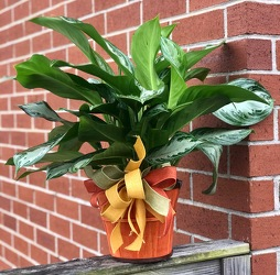 Live Aglaonema Plant from Martha Mae's Floral & Gifts in McDonough, GA