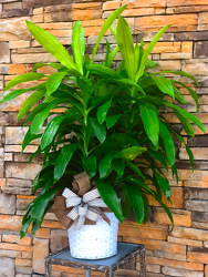 Cane Plant  from Martha Mae's Floral & Gifts in McDonough, GA