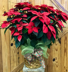 Red Poinsettia - Large